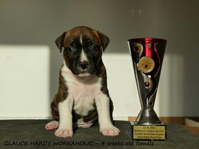 Hardy Workaholic, štěňata AST, štěňata Americký Stafordširský Teriér, Amstaff štěně
