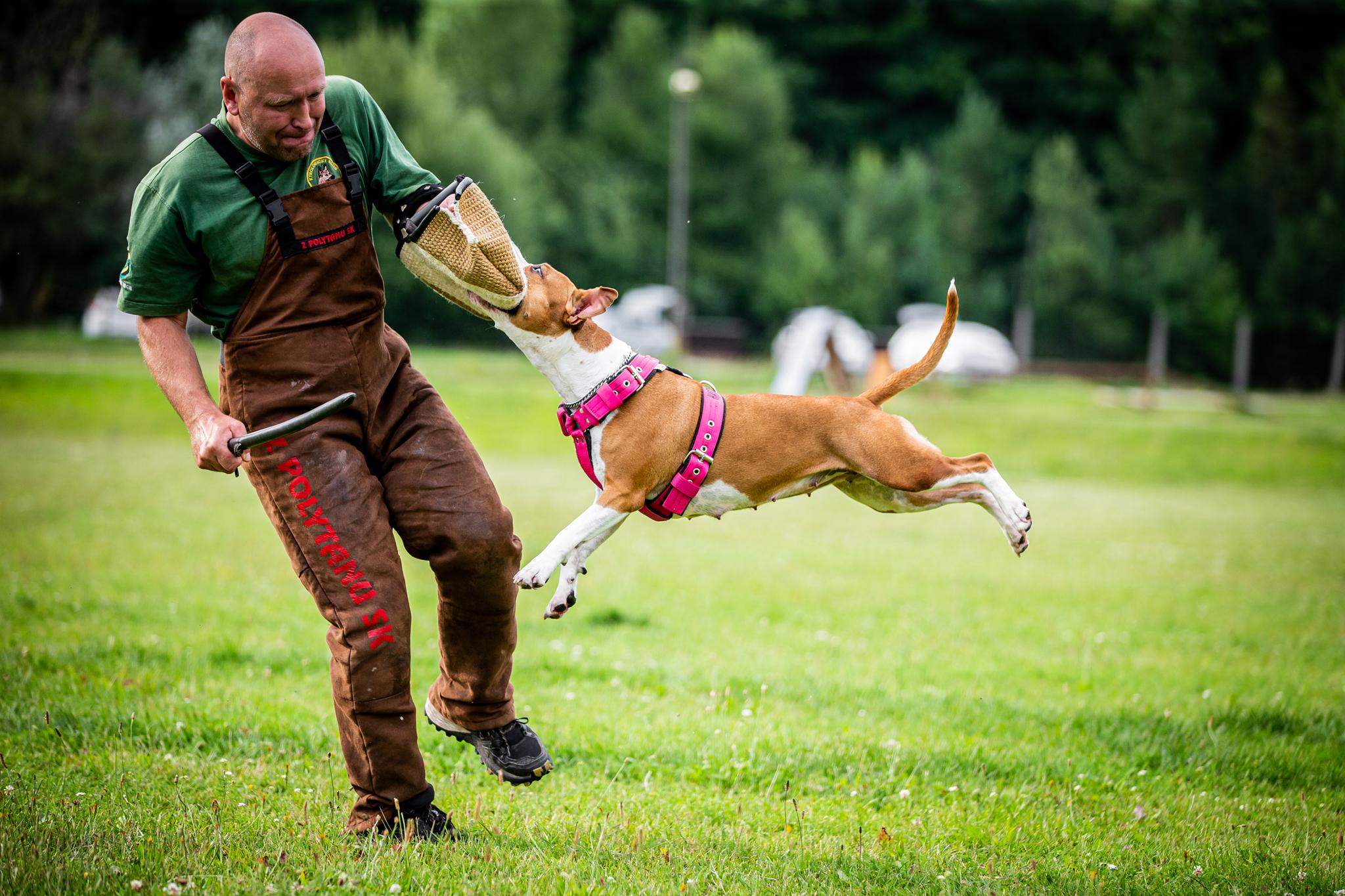 obrany, Hardy Workaholic, štěňata AST, štěňata Americký Stafordširský Teriér, Amstaff štěně