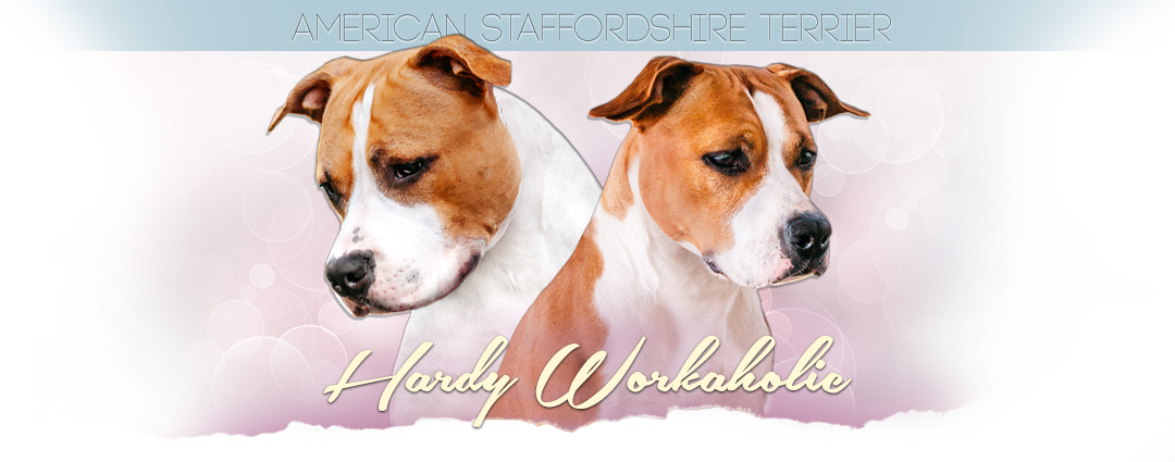 American Staffordshire terrier HARDY WORKAHOLIC